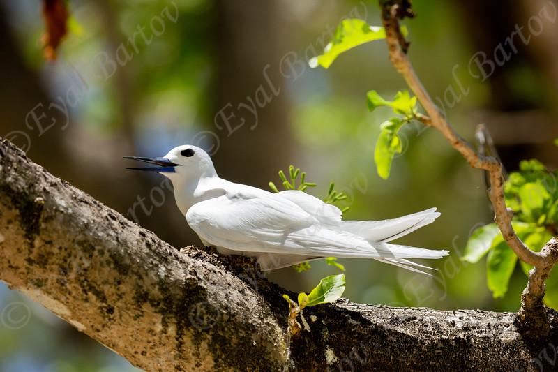 white fairy terns 4.jpg