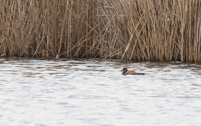 sultan marshes,  witkopeend,  white-headed duck