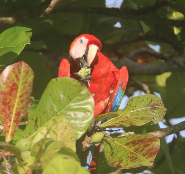 Lapa! Scarlet Macaws