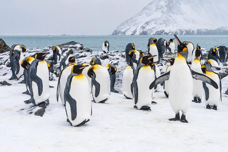 Penguins_King_Fortuna_South Georgia-3.jpg