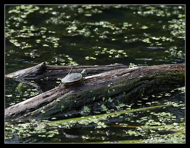 Eastern Painted Turtle, Mason Neck State Park, Virginia, June 2008