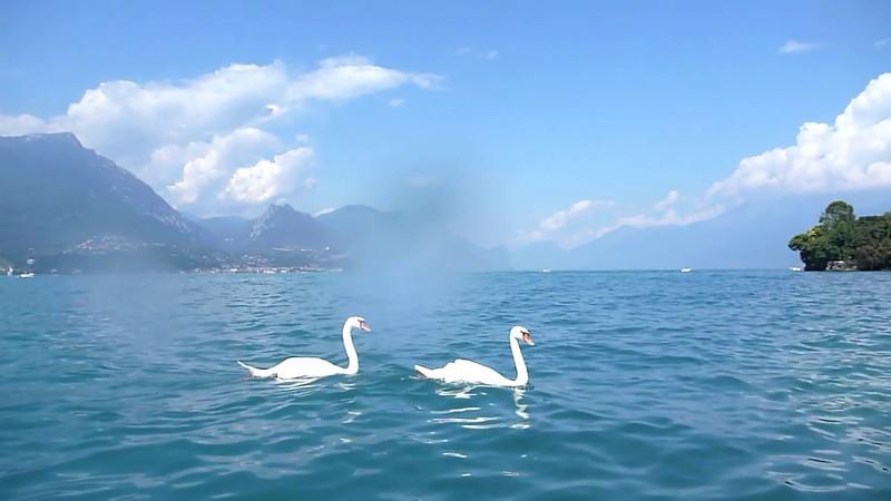 Lake Garda Swan Movie.mov