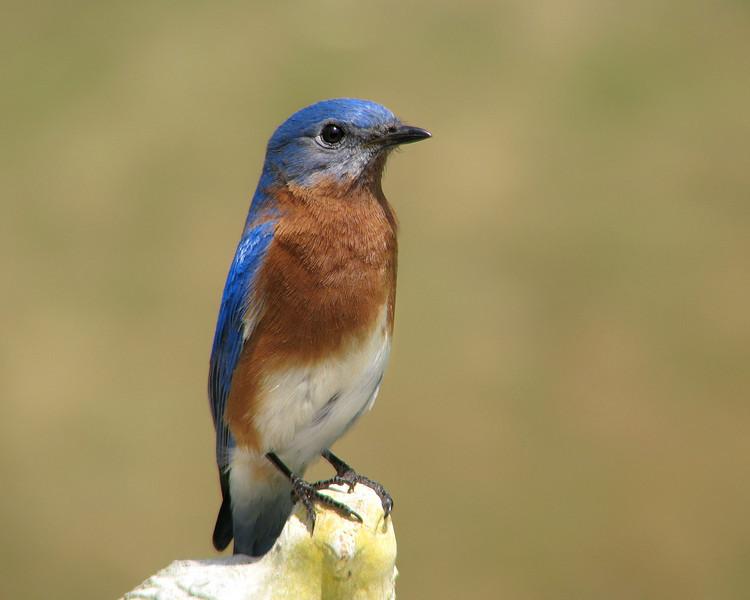bluebird_7970.jpg