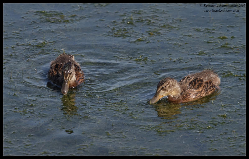 Mallard chicks, Oso Flaco Lake, Pismo Beach, California, July 2011