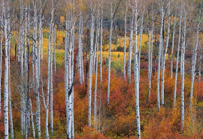 Aspen trunks with scrub oaks, Colorado