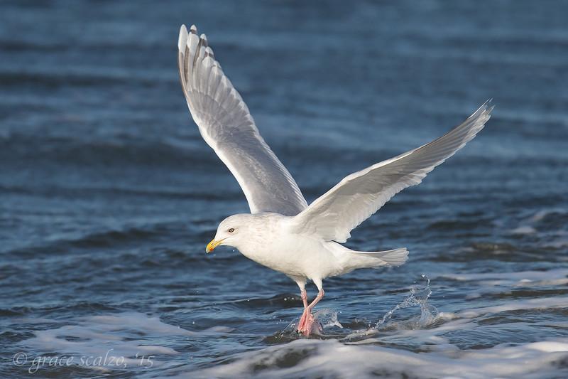 Iceland Gull Wings-up_O8U6289.jpg