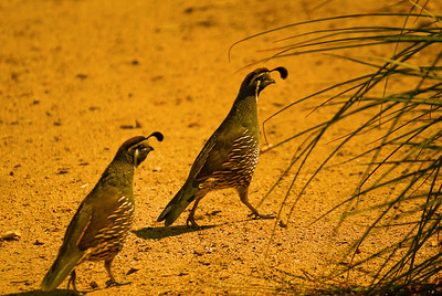 California Quails