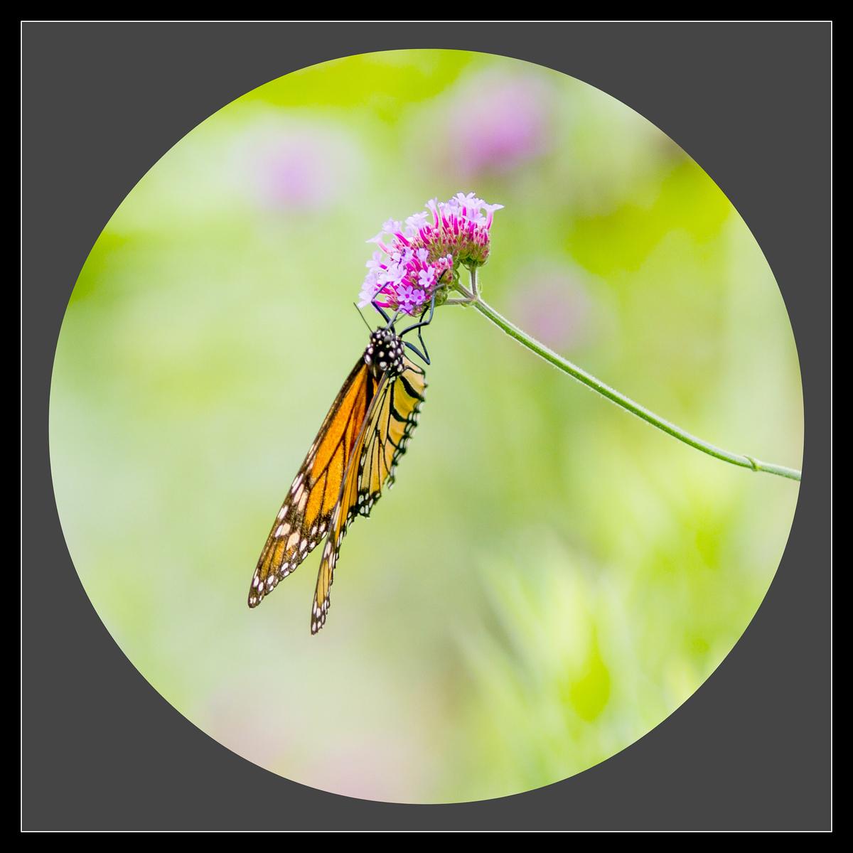 彩蝶花中藏,你中有我,我中有你