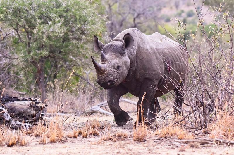 Black Rhino walking .jpg