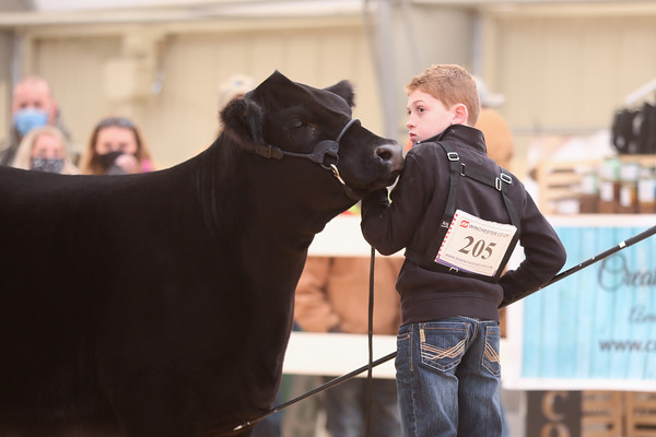Limousin Heifers