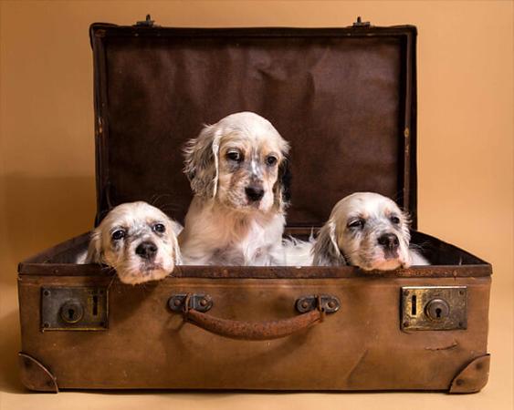English-Setter-Puppies.jpg