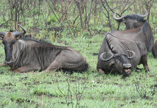 Wildebeest Tanzania 2009 2010