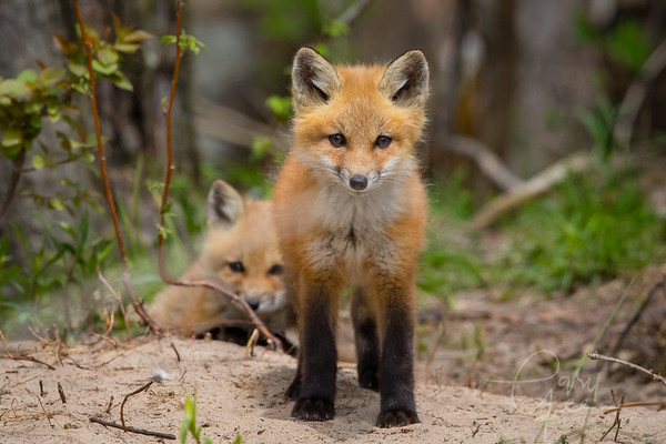 Fox Kits May 2018