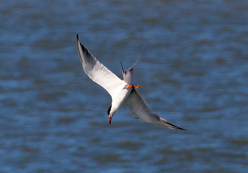 A Common Tern dives after a fish.