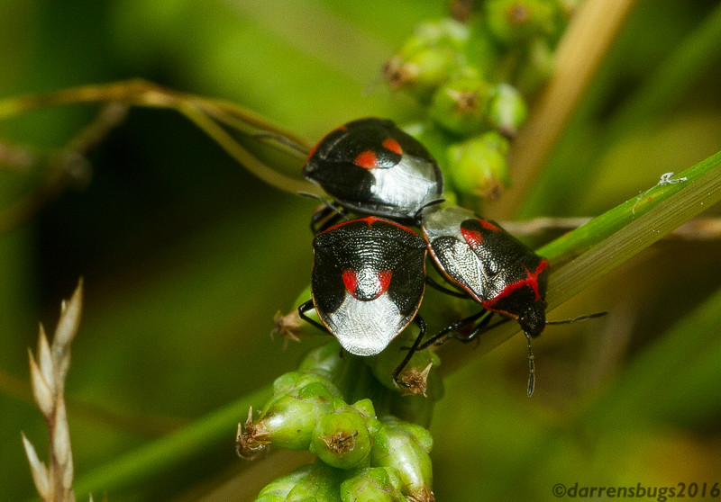 Mating Twice-stabbed Stink Bugs, Cosmopepla lintneriana, in Wisconsin.