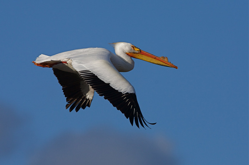 Pelican at the Lower Klamath National Wildlife Refuge, along the California/Oregon border.