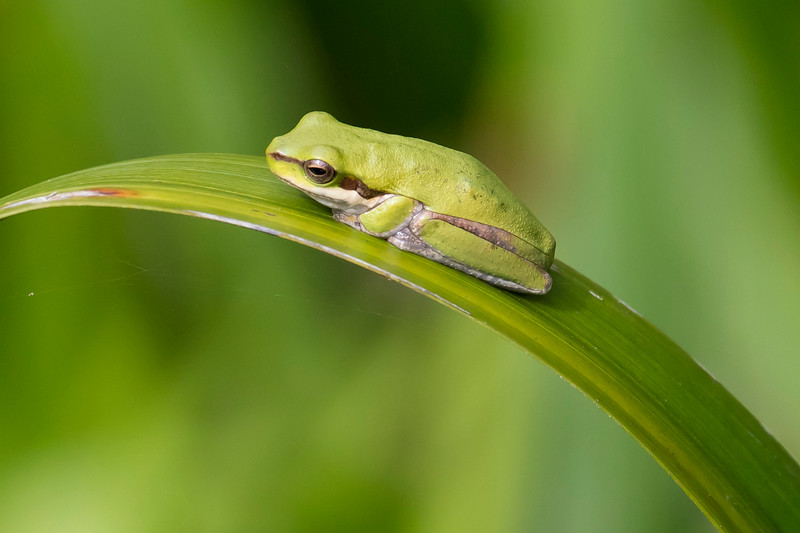 Northern Sedge Frog