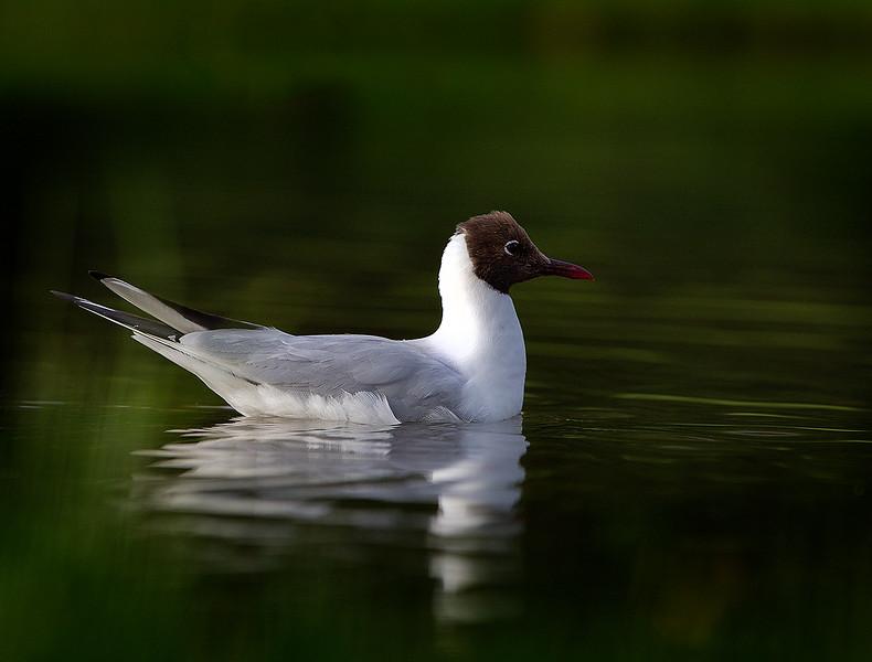 Black-headed Gull 1507071043.jpg