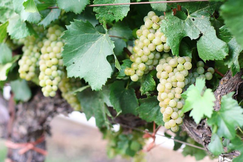 Chardonnay4.JPG