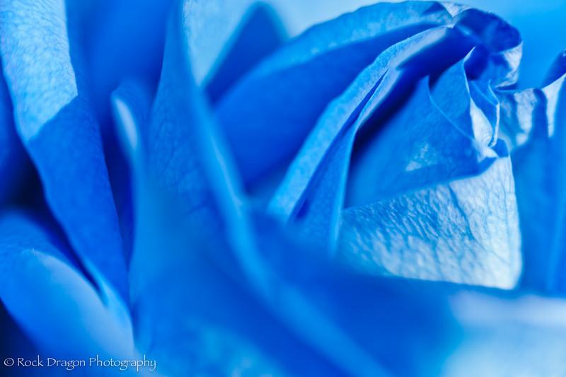 Blue_Rose-12.jpg