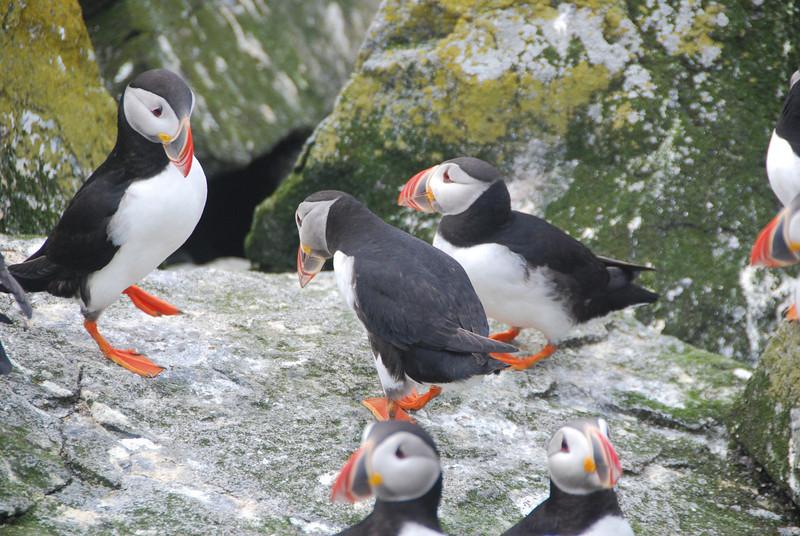 Machias Seal Island Trip - 088