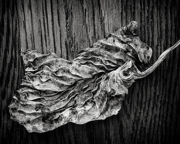 dried-hosta-leaf.jpg