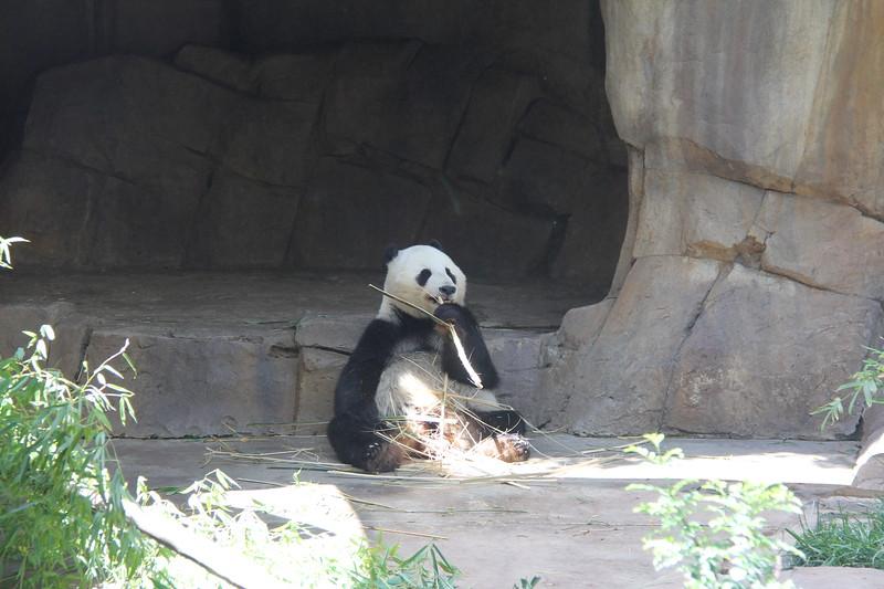 20170807-136 - San Diego Zoo - Giant Panda.JPG