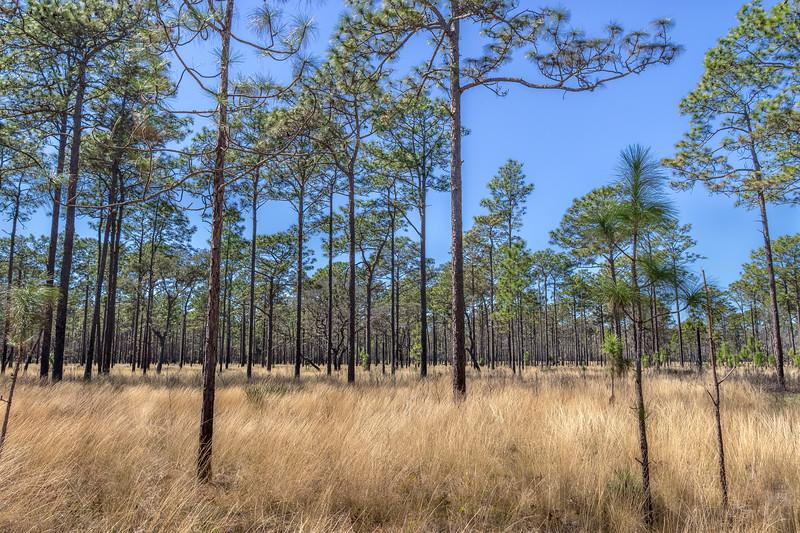 Pine sandhills at Wekiva Springs State Park