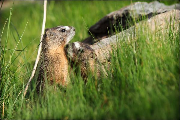 Marmot Mischief