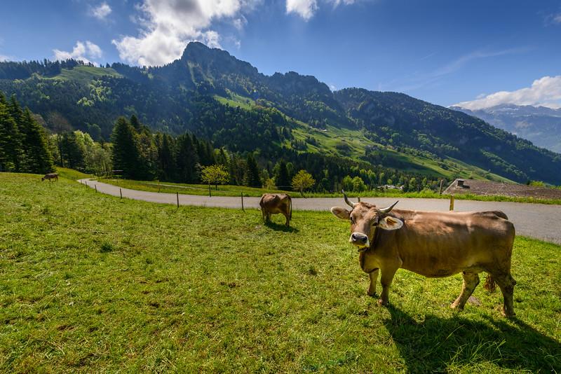 Swiss Milk