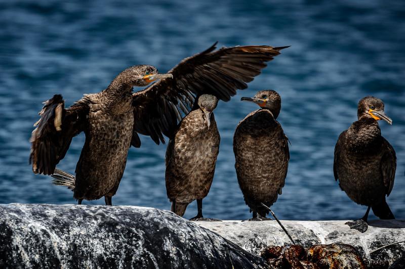 Cape Cormorant