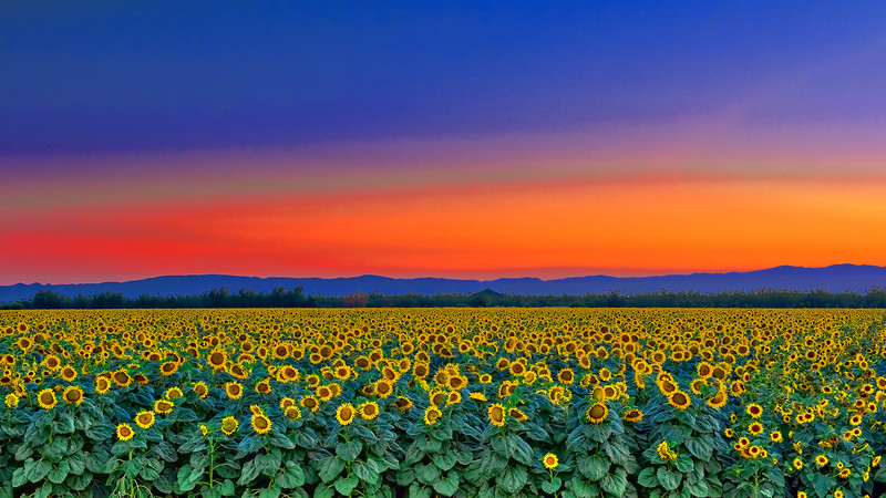 Sunflower Field- Mtns_2 DSC0821_HDR.jpg