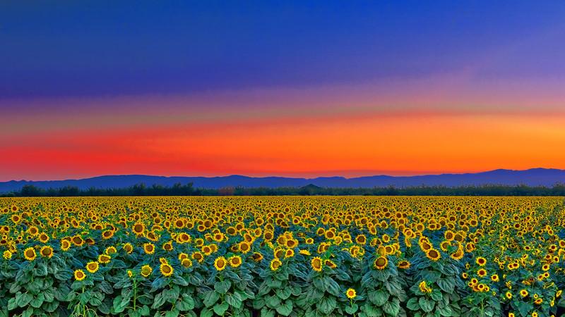 Sunflower Field- Mtns_2 DSC0821_HDR.jpg