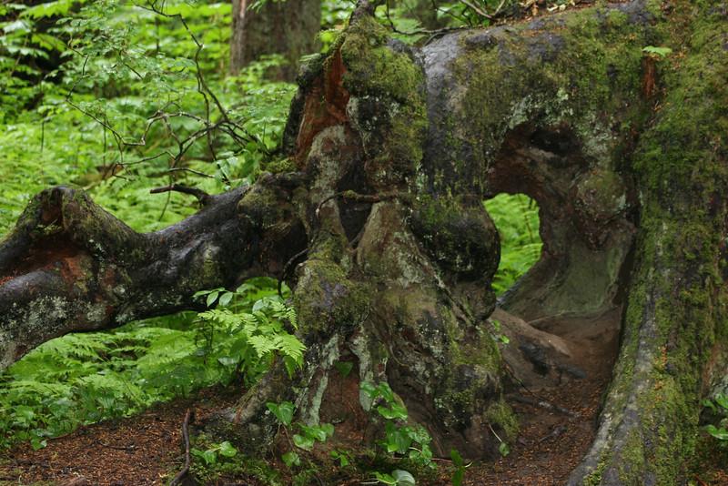 fallen tree in rain forest