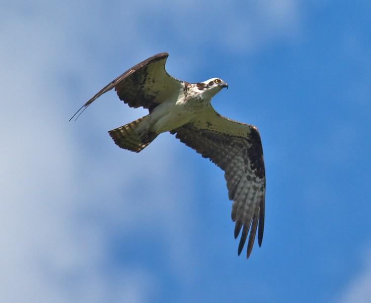 Osprey near nest CR5 S of CR4 Carlton Co MN IMG_7078.jpg
