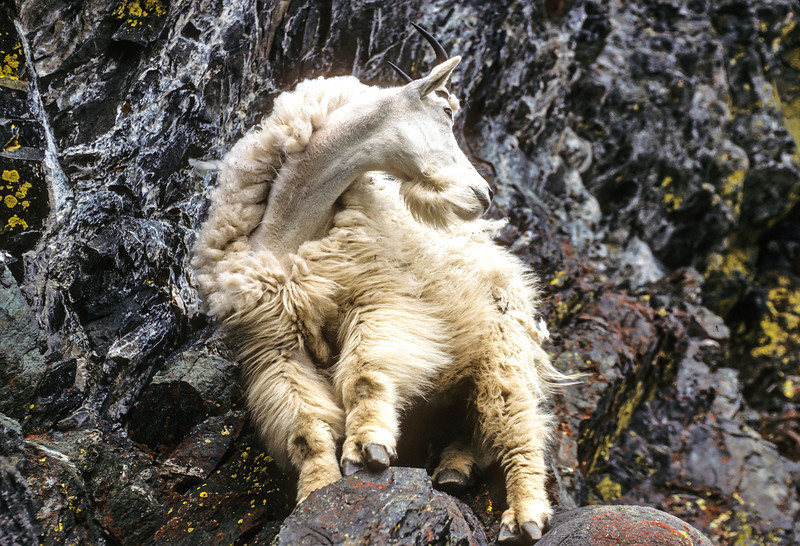 Mountain Goat Shedding #1