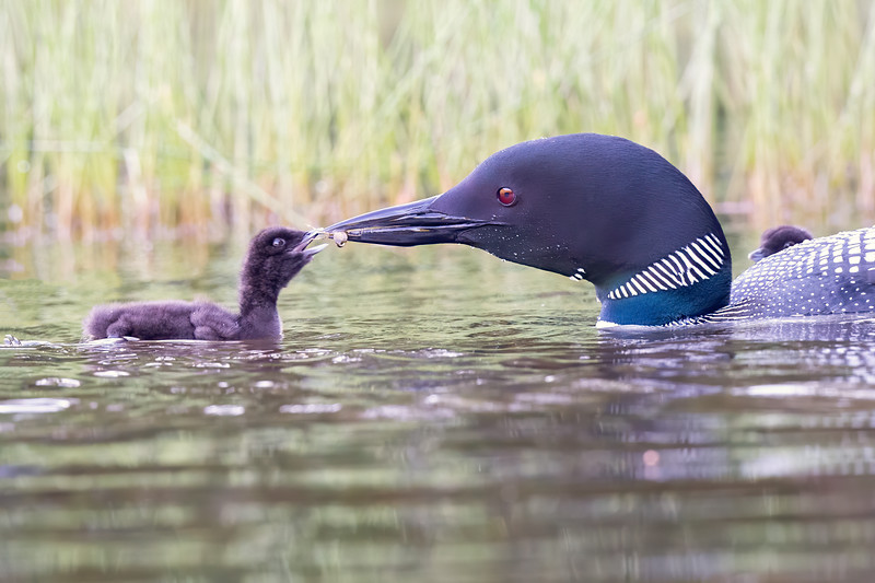 #1232 Common Loons
