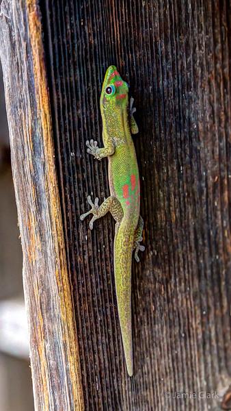 Gecko! Kona, Hawaii