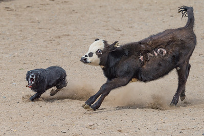 Cattle 4 - Advanced