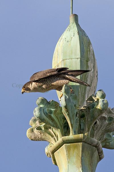 Harrisburg Peregrine Falcons