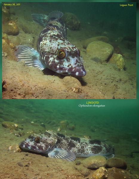LINGCOD ( Ophiodon elongatus ). Lagoon Point. January 26, 2011