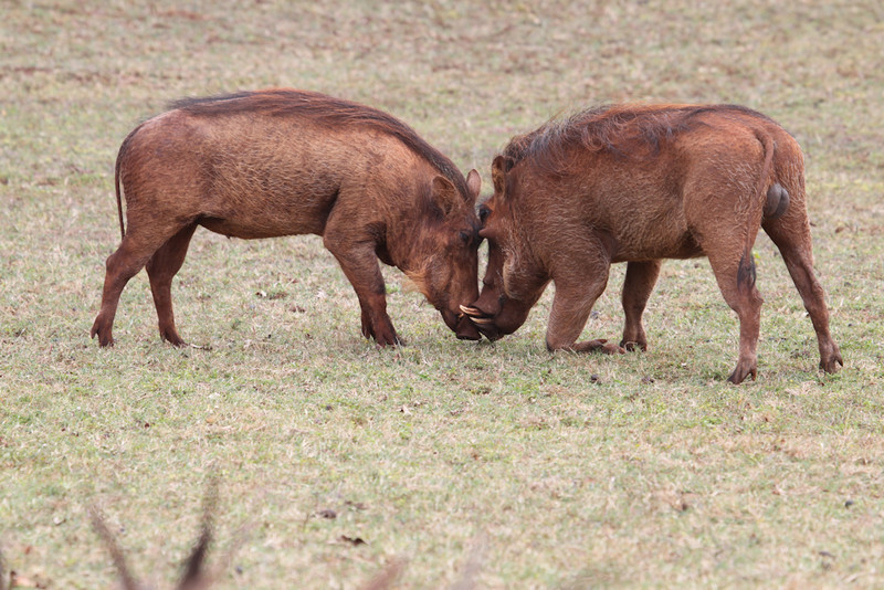 Common Warthogs