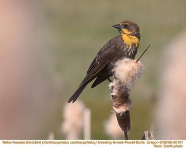 YellowHeadedBlackbirdF60161.jpg