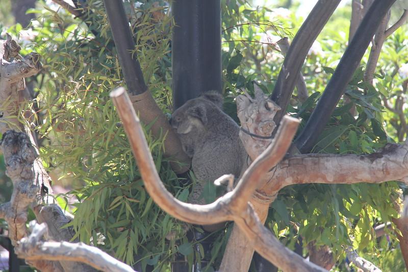 20170807-031 - San Diego Zoo - Koala.JPG