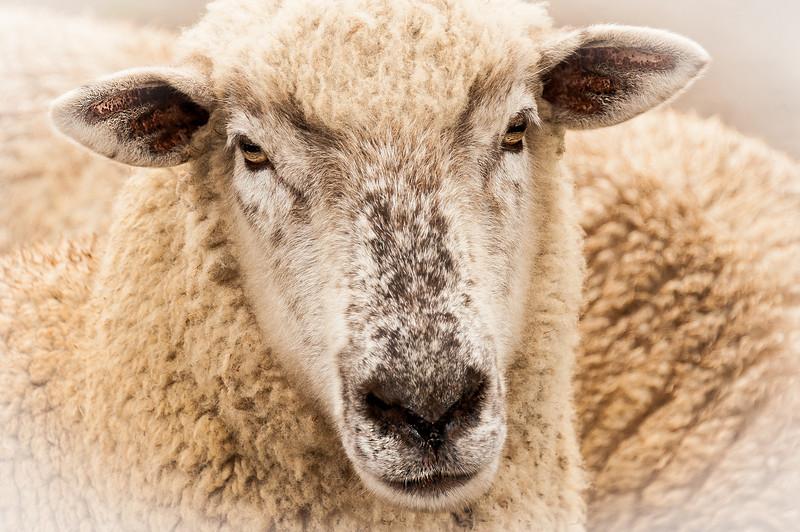 sheep 4x6.jpg