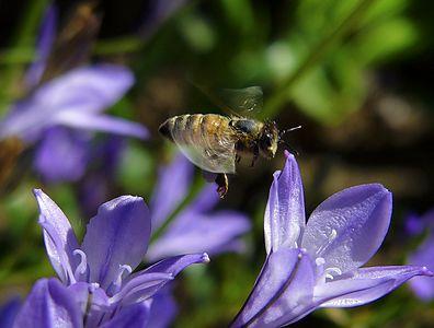 Bees  In Flight