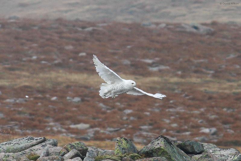 Snowy Owl - Ben Macdui, Scotland 13/09/14