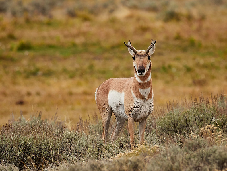 Male pronghorn antelope