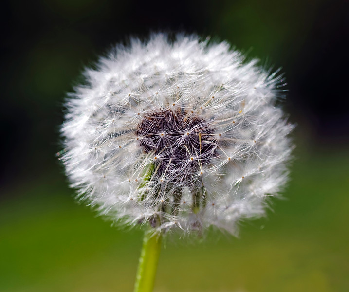 Dandelion in seadheds.jpg
