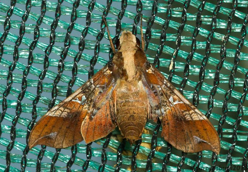 Sphinx moth (Sphingidae) from Monteverde, Costa Rica.